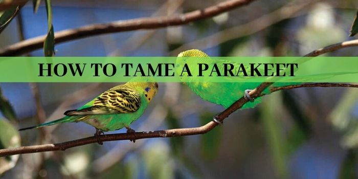 Steps of How To Tame A Parakeet