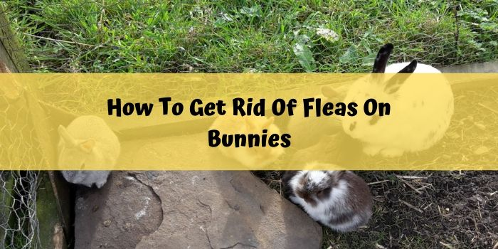 get ride of fleas of bunnies